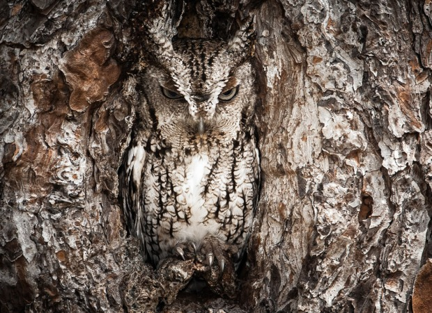 Portrait of an Eastern Screech Owl by Graham McGeorge
