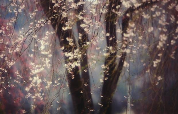 Sakura by Hideyuki Katagiri